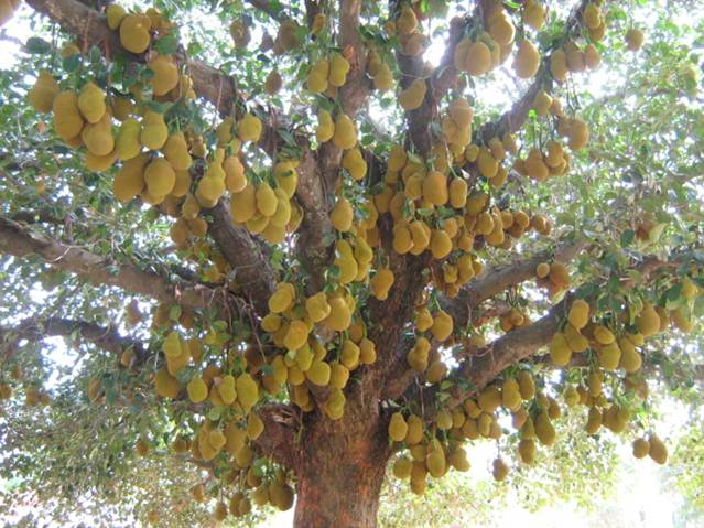 All Investment Well Withing Jack Fruit Plant Start Yielding In About 4th Year So Primary Crop Of Will Be Bonus For Farmer 400 Years