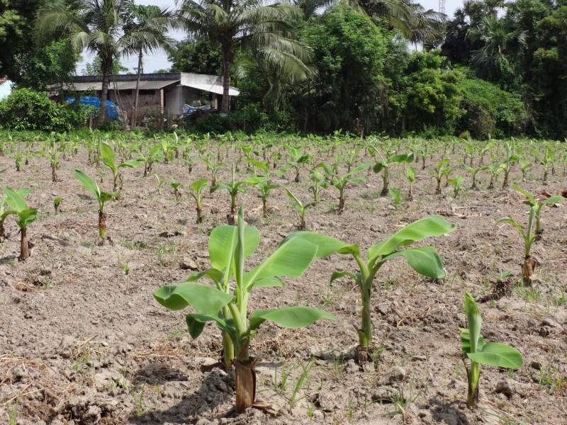 Banana -4000 plants per acre - square planting - 5 5 lac income