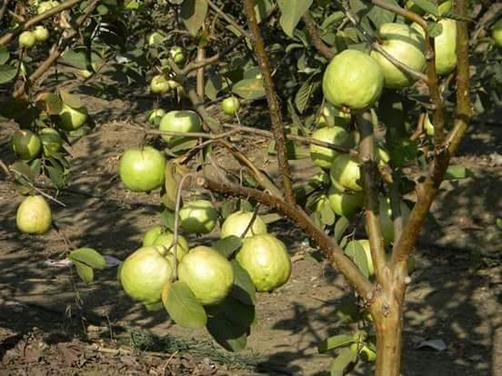 Is training and pruning in guava fruit plantation a must to produce high yield? - Farm Advice ...