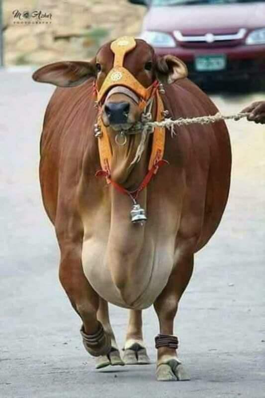 cow pashu