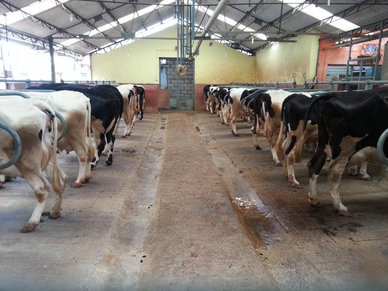 Maruthi Dairy Farm My Farm Farmnest Agriculture Community