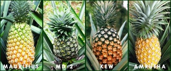 Pineapple%20varieties_india